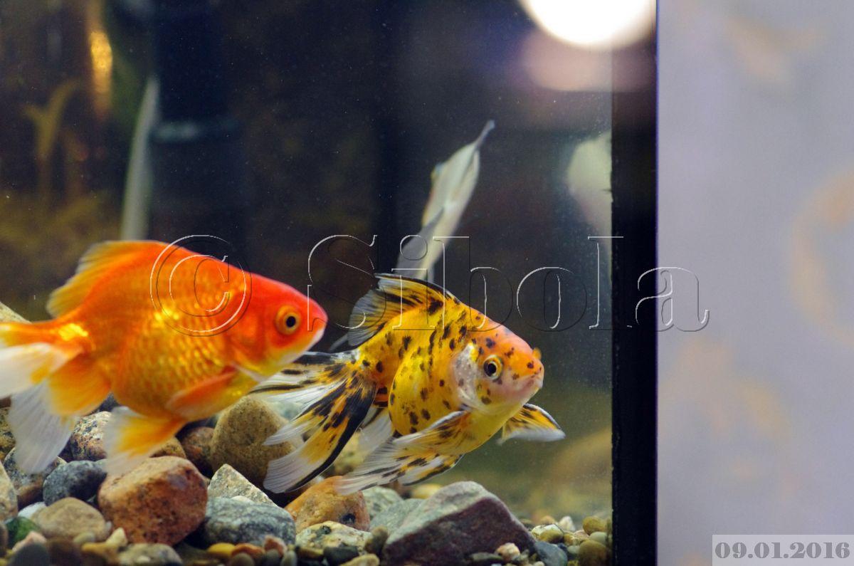 Korall ja kuldkala